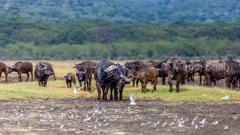 African Buffalo herd at Lake Nakuru National Park, Kenya