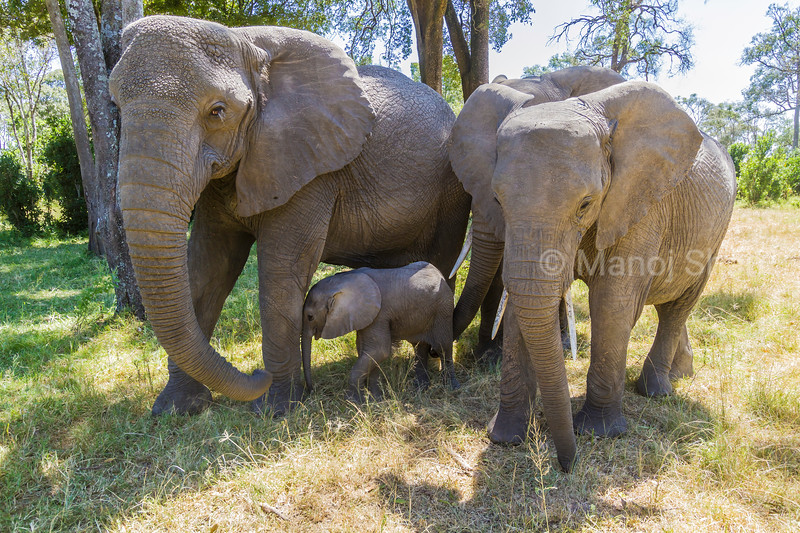 African elephant family enjoying grazing grass in the riverine forest  in Masai Mara.