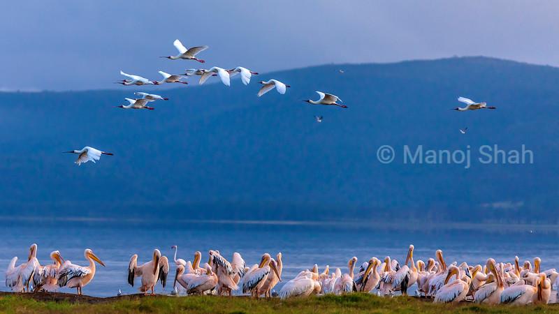 Great White Pelicans  flying  on Lake Nakuru waters in Lake Nakuru National Park, Kenya