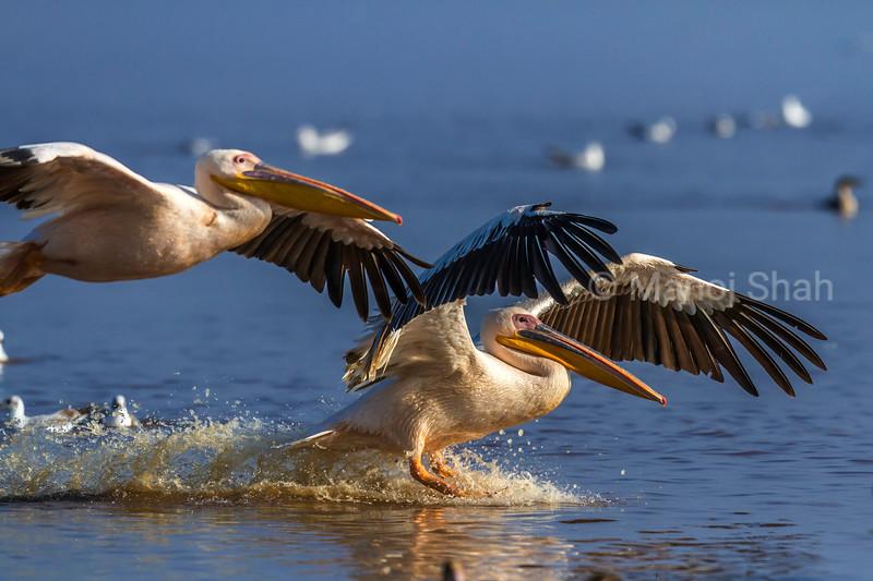 Great White Pelicans Landing in Lake Nakuru waters, Lake Nakuru National Park, Kenya