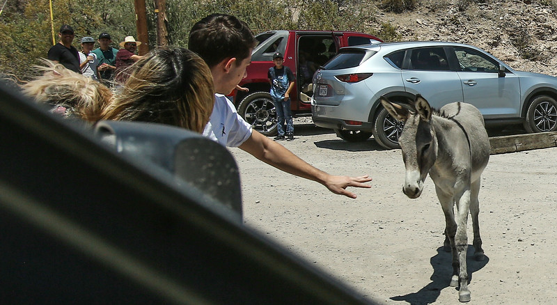 July 4th Oatman lady and dog trampled by Donkey