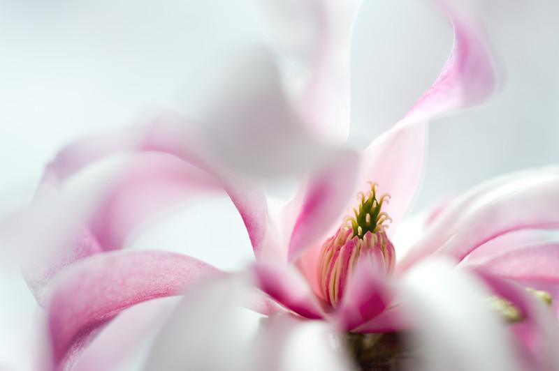 Magnolias In Bloom 009 | Wall Art Resource