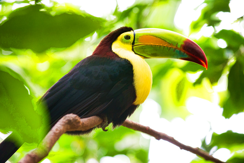 Toucan On A Branch 005   Wall Art Resource