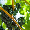Napa Wine Grape Bunches 005 | Wall Art Resource