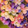 Napa Wine Grape Bunches 009   Wall Art Resource