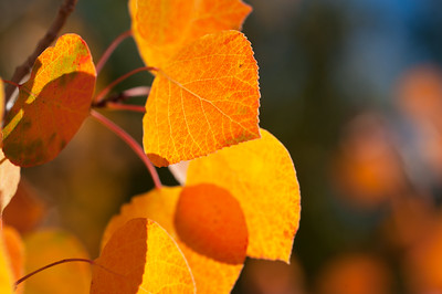 Aspen Leaves In Autumn 054 | Wall Art Resource