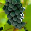 Napa Wine Grape Bunches 001 | Wall Art Resource