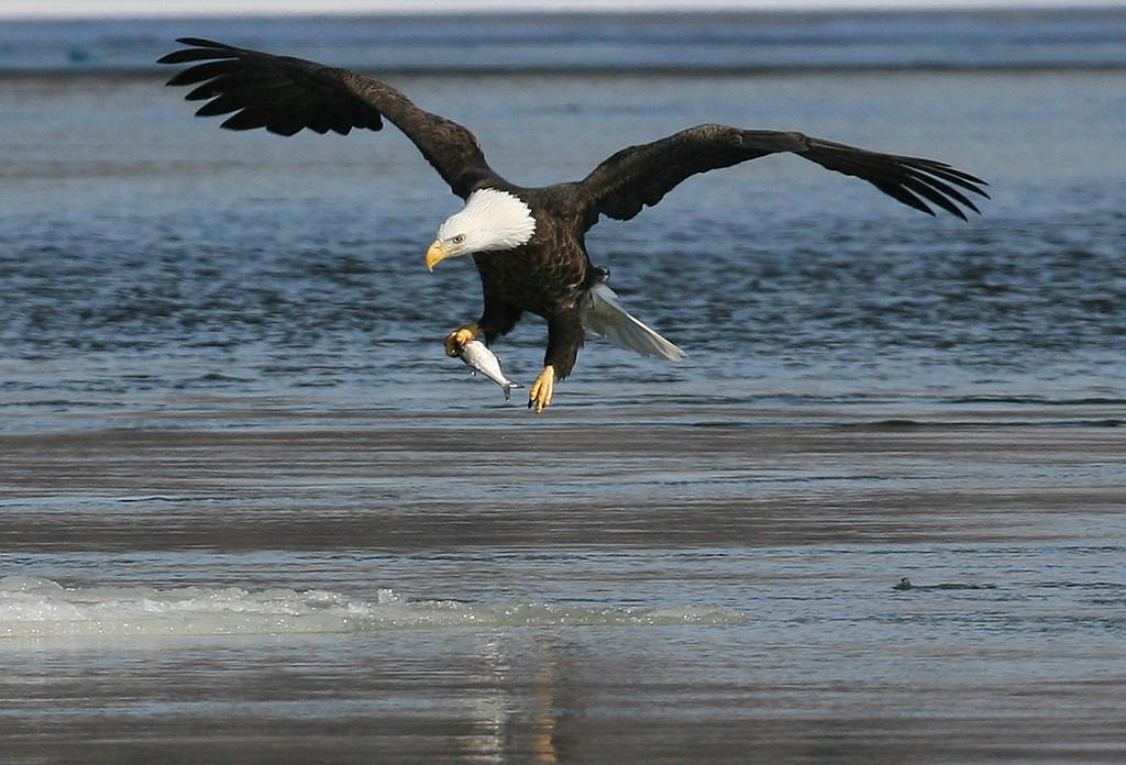 Bald Eagle - Burlington, Iowa