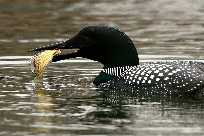 Common Loon - Bloomington, MN