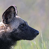 Profile of a painted wolf
