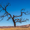 Climbing up out of the canyon to Lasky Mesa, a dead oak tree was at the top of the hill.  I really loved this once proud tree and it's dark form against the blue sky.