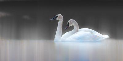 Swans-fog