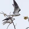 White Kite-4