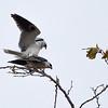 White Kite-1