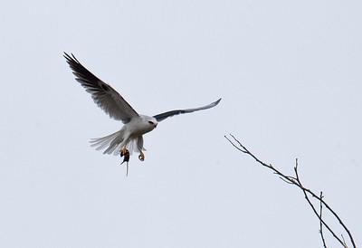 White Kite-2