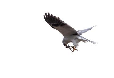 White Kite-3