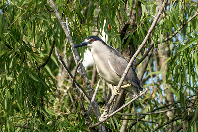 Black-crowned Night-Heron, Miller Lake, Louisiana