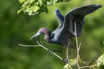 Little Blue Heron, Jefferson Island, Louisiana