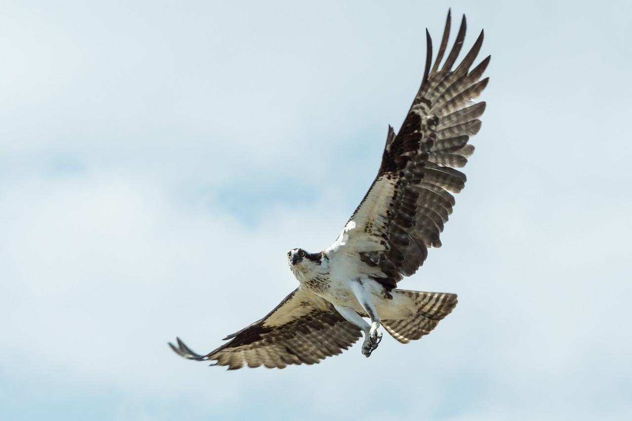 Osprey, Atchafalaya Basin, Louisiana
