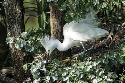 Snowy Egret, Jefferson Island, Louisiana