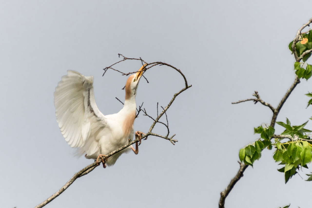 Cattle Egret, Jefferson Island, Louisiana