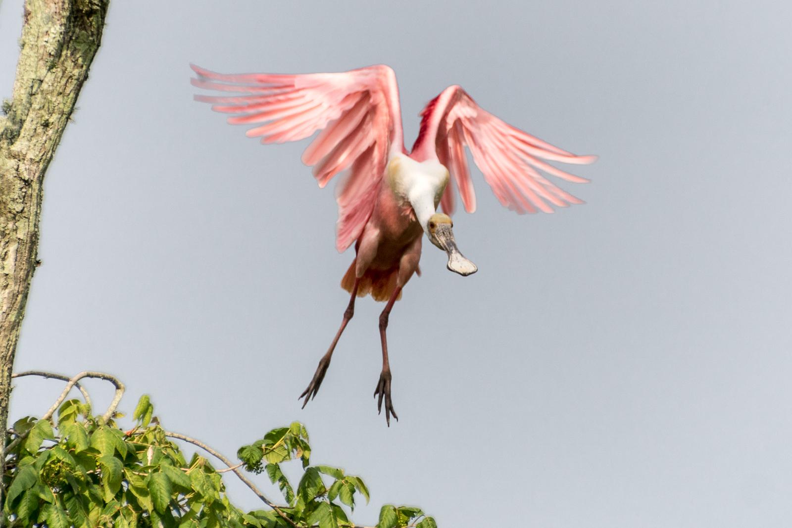 Roseate Spoonbill, Jefferson Island, Louisiana