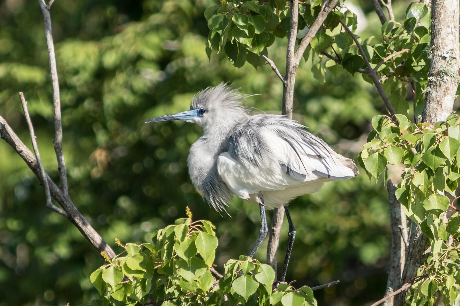 Little Blue Heron (juvenile), Jefferson Island, Louisiana