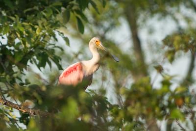 Roseate Spoonbill, Miller Lake, Louisiana