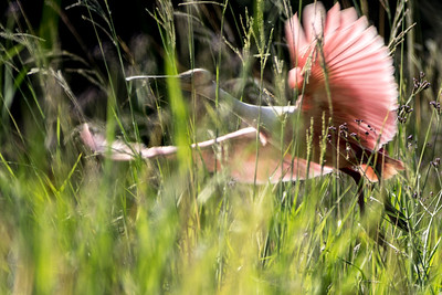 Roseate Spoonbill, Jefferson Island, Louisiana
