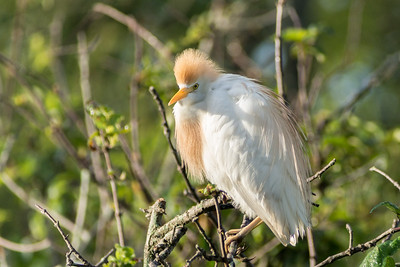 Cattle Egret, Miller Lake, Louisiana