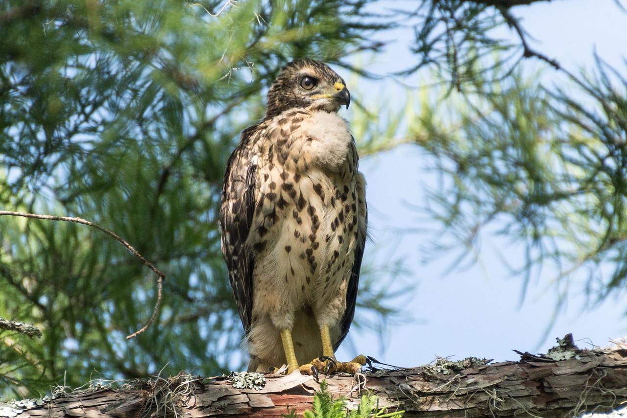 Broad-winged Hawk, Atchafalaya Basin, Louisiana