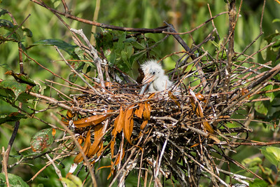 Baby White Ibis, Miller Lake, Louisiana