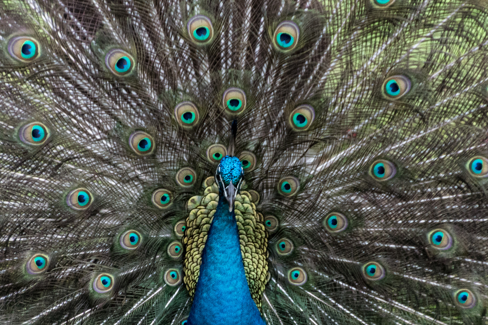 Peacock, Jefferson Island, Louisiana
