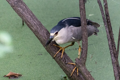 Black-crowned Night-Heron, Martin Lake, Louisiana