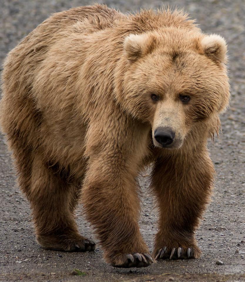 """Claire, Brown Bear, Katmai National Park, Alaska"