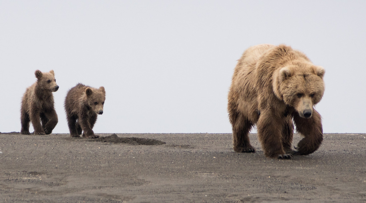 "Brown Bear, (""Claire""), with spring (1st summer) cubs, Katmai National Park, Alaska"