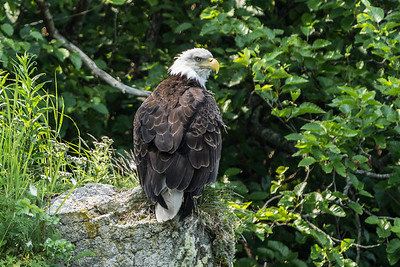Bald Eagle,  Katmai National Park, Shelikof Strait, Alaska