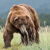 """Van"", male Brown Bear, Katmai National Park, Alaska"