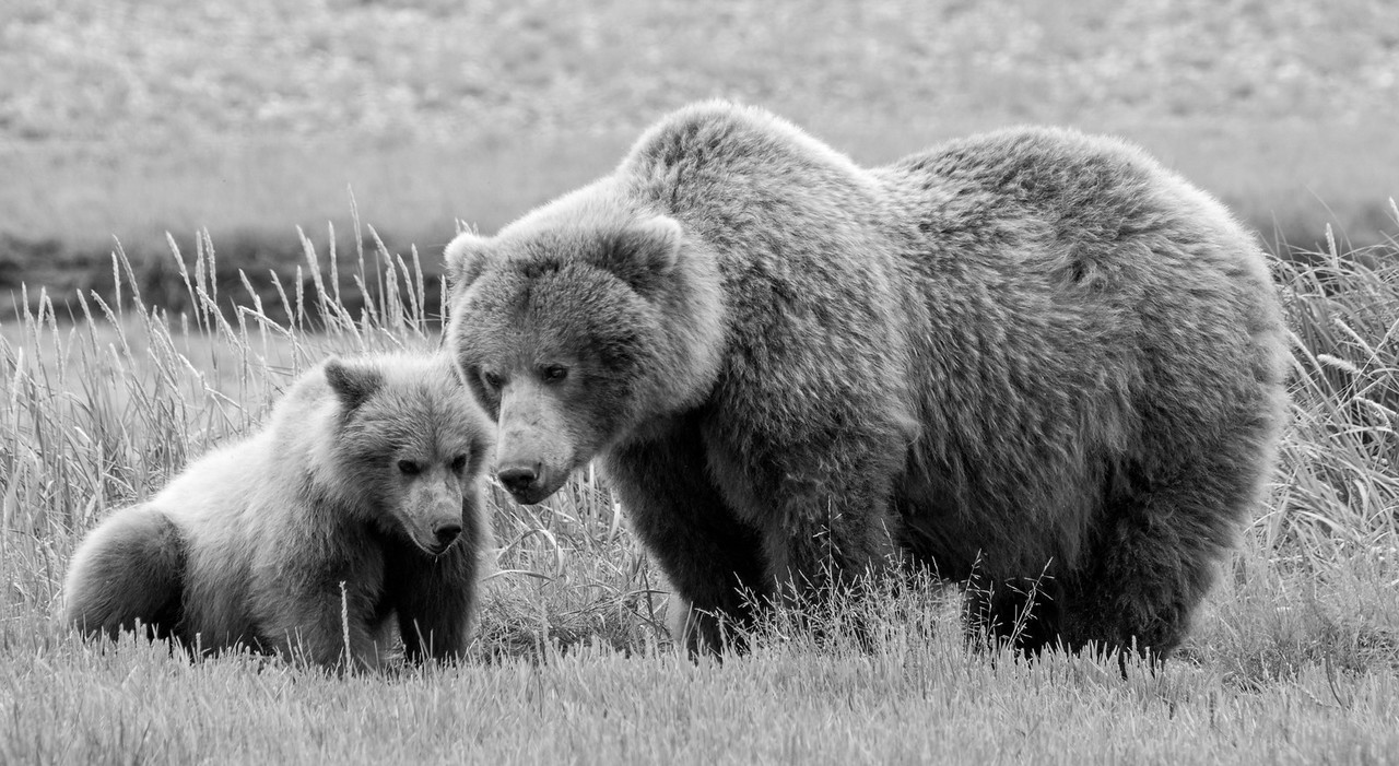 Brown Bear with yearling (2nd summer) cub, Katmai National Park, Alaska