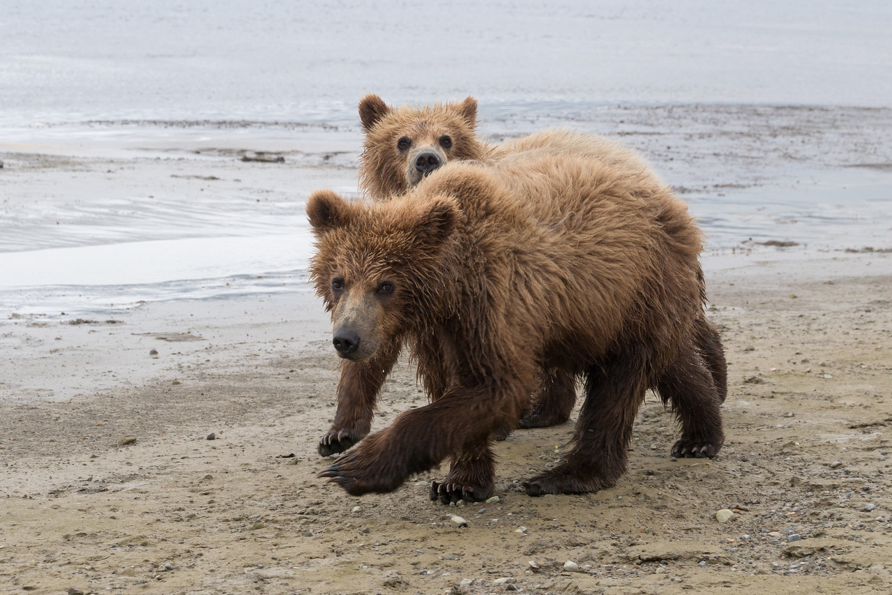 yearling (2nd summer) Brown Bear cubs, Katmai National Park, Alaska