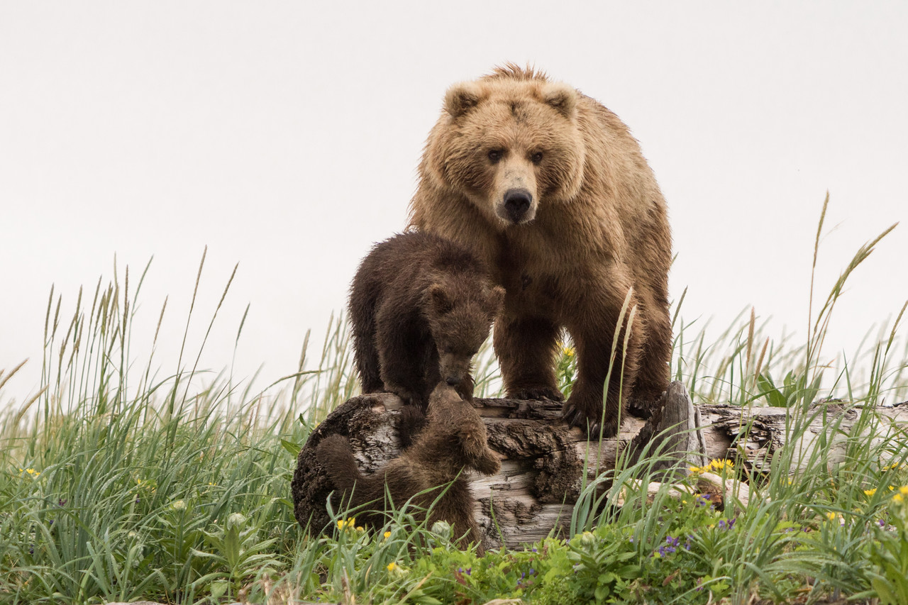 """Claire"", Brown Bear with spring (1st summer) cubs, Katmai National Park, Alaska"