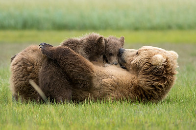 "Brown Bear (""Claire"") with spring (1st summer) cubs, Katmai National Park, Alaska"