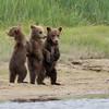 spring (1st summer) Brown Bear cubs, Katmai National Park, Alaska