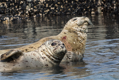 Harbor Seals, Alaska  Bay, Alaska