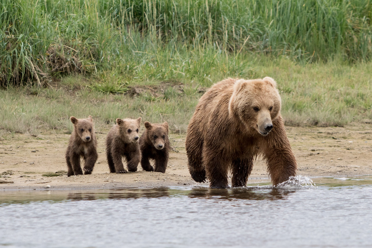 Brown Bear with spring (1st summer) cubs, Katmai National Park, Alaska
