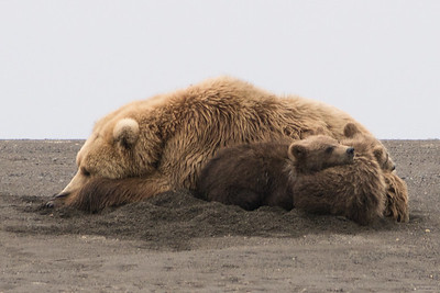 "Brown Bear, (""Claire""), with spring (1st summer) cubs, Katmai National Park, Alaska"