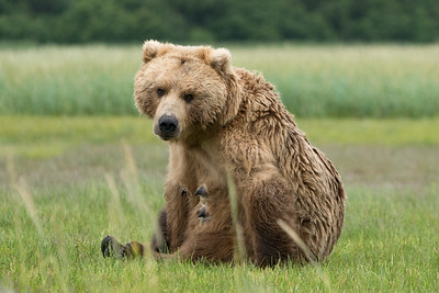 """Claire"", Brown Bear, Katmai National Park, Alaska"
