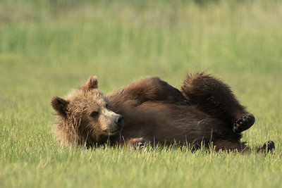yearling (2nd summer) Brown Bear cub, Katmai National Park, Alaska