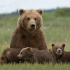 Brown Bear with spring  (1st summer) cubs, Katmai National Park, Alaska