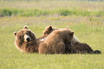 Brown Bear with yearling (2nd summer) cubs, Katmai National Park, Alaska